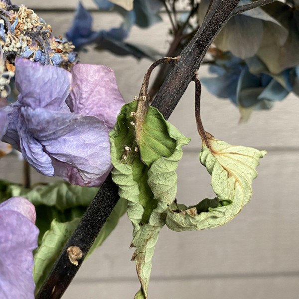dying blue hydrangea, archival digital print by Canadian photographer barbra edwards, Pender Island, BC