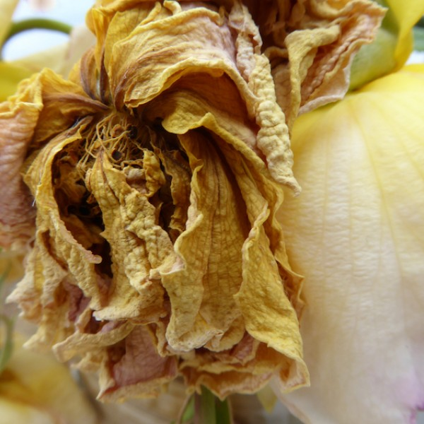 transition series (3) dying rose, digital print, Canadian photographer barbra edwards, pender island, bc