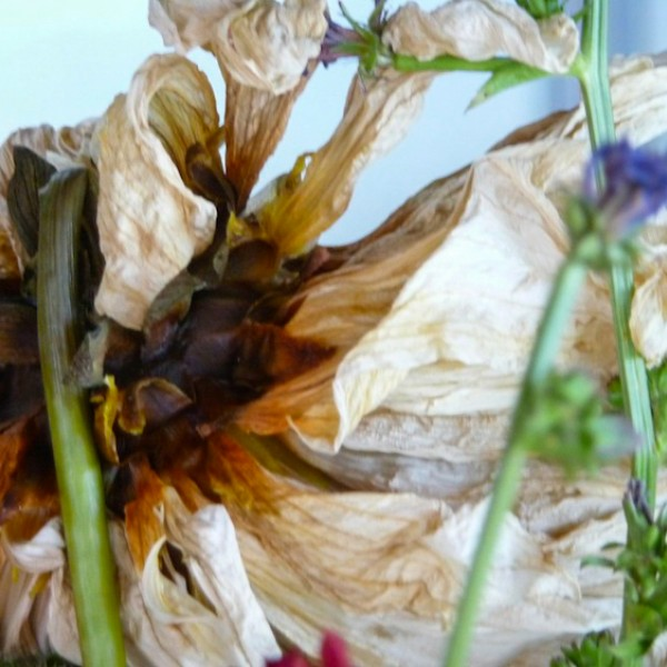 dying dahlia, digital image, Canadian photographer barbra edwards, pender island
