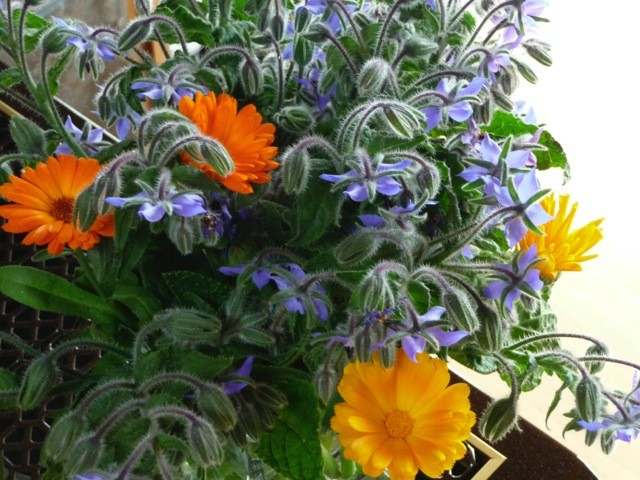 calendula and herb borage in artist barbra edwards garden