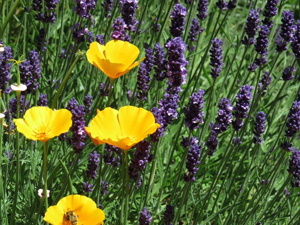 california poppies with lavender