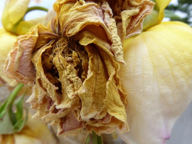 transition series (3) dying rose, digital print, Canadian photographer barbra edwards, pender island, bc