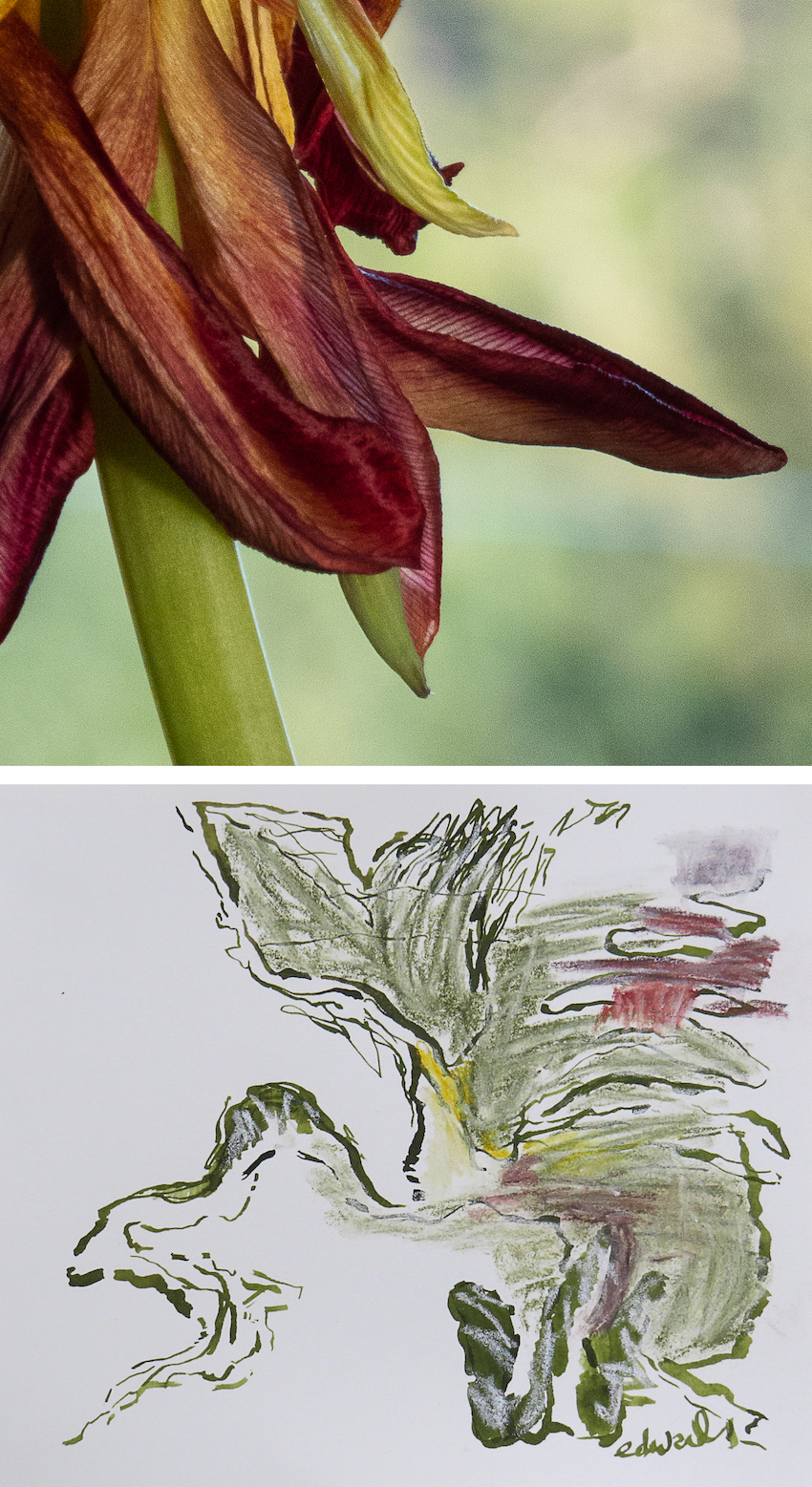 petals with drawing digital print with drawing by Canadian contemporary artist photographer barbra edwards Gulf Islands BC