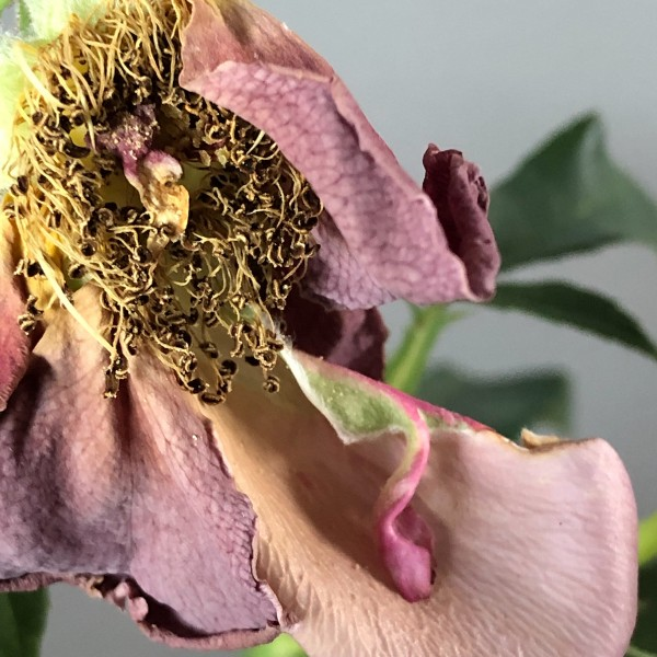 dying rose with stamen, archival digital print by photographer barbra edwards